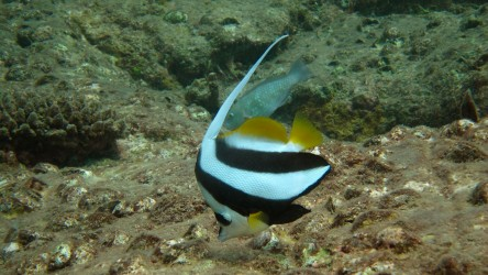 Long Fin Bannerfish Racha Noi Phuket Thailand Best Scuba Diving