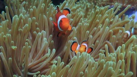 Beautiful Anemonefish at Phi Phi the best place learn scuba diving Phuket Thailand