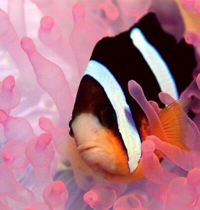 Clarkes Anenomefish Pink Coral Similan Islands Liveaboard Phuket Thailand