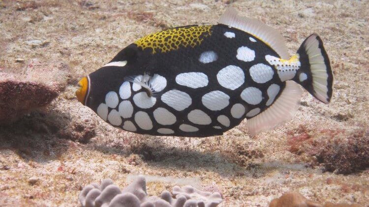 Clown Triggerfish Phi Phi Thailand Phuket Scuba Diving