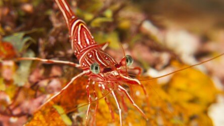 Durban Dancer Shrimp Koh Doc Mai Phuket Scuba Diving Aussie Divers