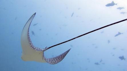 Eagle Ray Racha Yai Bay 1 Scuba Diving Phuket Thailand