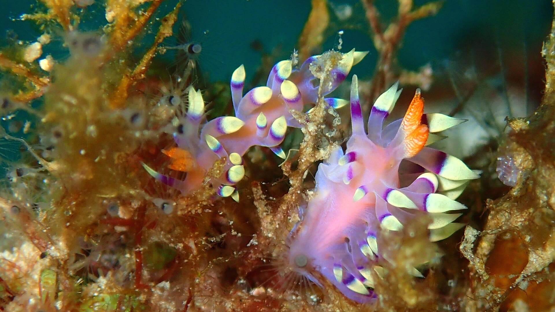 Lovely Nudibranch