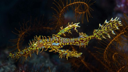 Ornate Ghost Pipefish Similan Islands Liveaboard Phuket Scuba Diving