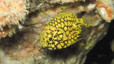Pineapple Fish Richelieu Rock Liveaboard Scuba Diving Best Aussie Divers