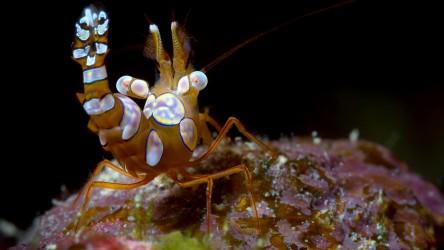 Squat Shrimp Racha Yai Phuket Thailand Scuba Diving Best