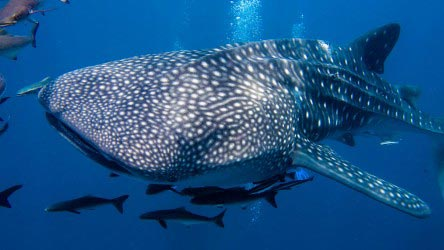 Whale Shark Phuket Thailand Liveaboard Scuba Diving Best