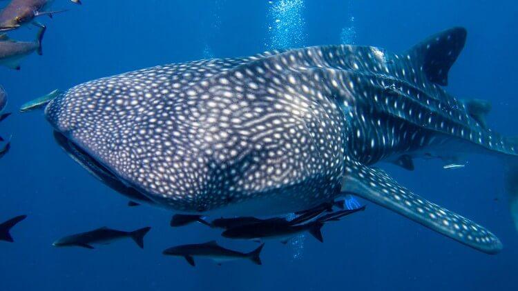 Whale Shark Phuket Thailand Liveaboard Scuba Diving Best