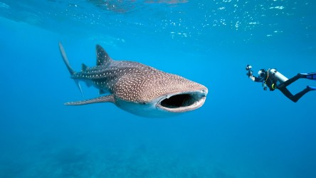 Diving With Whale Sharks In Phuket Thailand With Aussie Divers