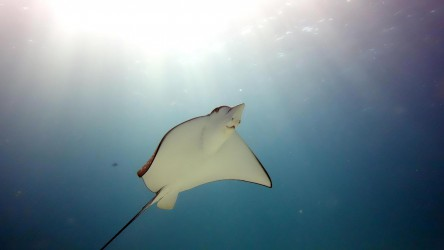 Eagle Ray Found Regularly At Mai Thon Island Phuket Thailand