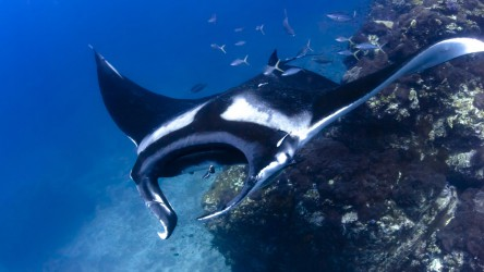 Giant Manta saying hello while Scuba diving in Phuket, Thailand with Aussie Divers