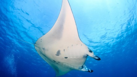 Giant Mantas In The Similan Islands With Aussie Divers Phuket