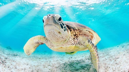 Green Sea Turtle Myanmar Liveaboard Holiday Aussie Divers Phuket