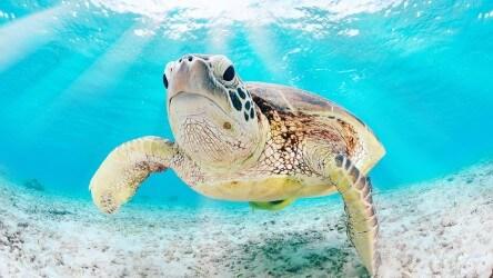 Green Sea Turtle Myanmar Liveaboard Holiday Aussie Divers Phuket