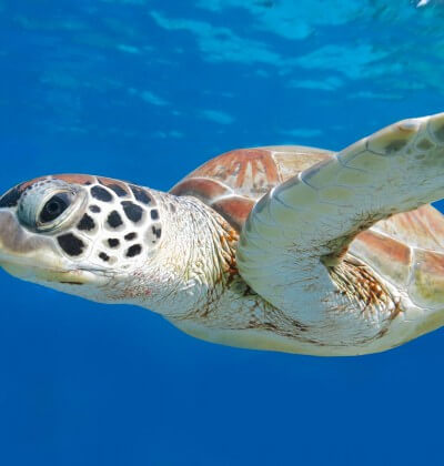 Green Sea Turtle Similan Islands Liveaboard Holiday Aussie Divers Phuket