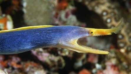 Male Ribbon Eel In The Similan Islands With Aussie Divers Phuket