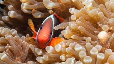 Anemonefish Richelieu Rock Liveaboard Scuba Diving Best