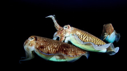 Cuttlefish Night Dive Liveabaord Richelieu Rock Aussie Divers Phuket