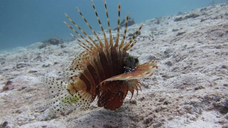 Dwarf Lionfish Scuba Diving Day Trip Phuket Thailand