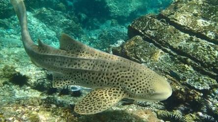 Leopard-Shark-Scuba-Diving-Hin-Bida-Phuket-Thailand-PADI