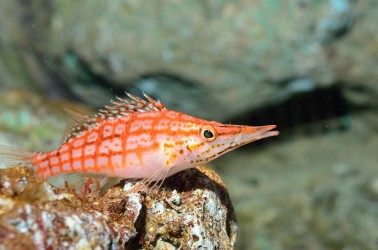 Long Nose Hawkfish Similan Islands Liveaboard Phuket Thailand