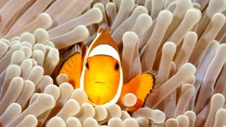 Lovely Clownfish Scuba Diving Racha Yai Phuket Thailand