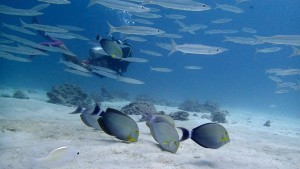 Surgeon Fish Racha Yai Padi Open Water Course Scuba Diving Liveaboard
