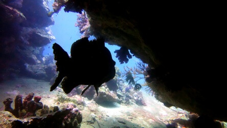 Brown Marble Grouper hiding at Koh Tachai pinnacle