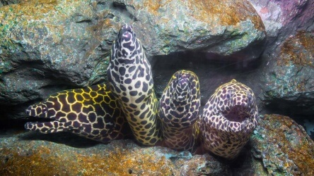 Honeycomb Moray Eel Found Scuba Diving On Padi Open Water Course With Aussie Divers Phuket