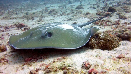 Jenkins Whip Ray photographed at Torolina Pinnacle Surin Islands Thailand