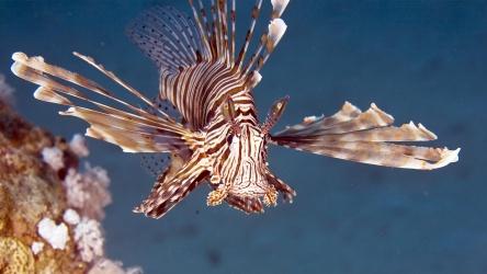 Lionfish Scuba Diving Day Trip Phuket Aussie Divers Phuket