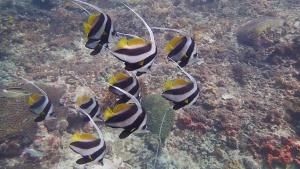 Longfin Bannerfish Hin Bida Phi Phi Scuba Diving Day Trip