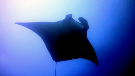 Giant Manta Photgraphed at Koh Tachai Pinnacle in the Similan Islands Thailand