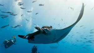 Manta Ray Koh Bon Scuba Diving Liveaboard Scuba Diving Phuket