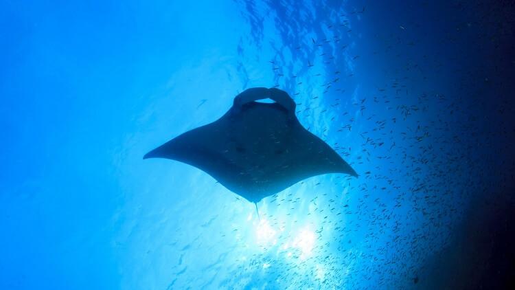 Manta Ray Koh Tachai Scuba Diving Liveaboard Phuket Thailand