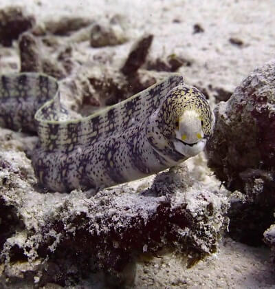 Moray Eel Racha Yai Scuba Diving Day Tip Phuket Aussie Divers Phuket
