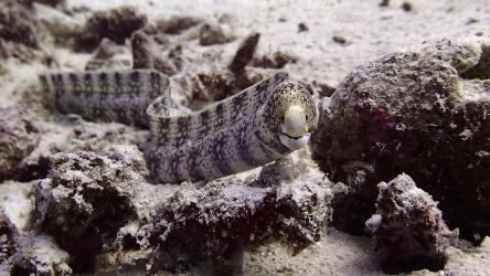 Moray Eel Racha Yai Scuba Diving Day Tip Phuket Aussie Divers Phuket