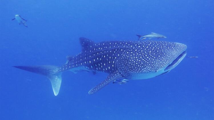 Aussie Divers Phuket Whale Shark Racha Yai