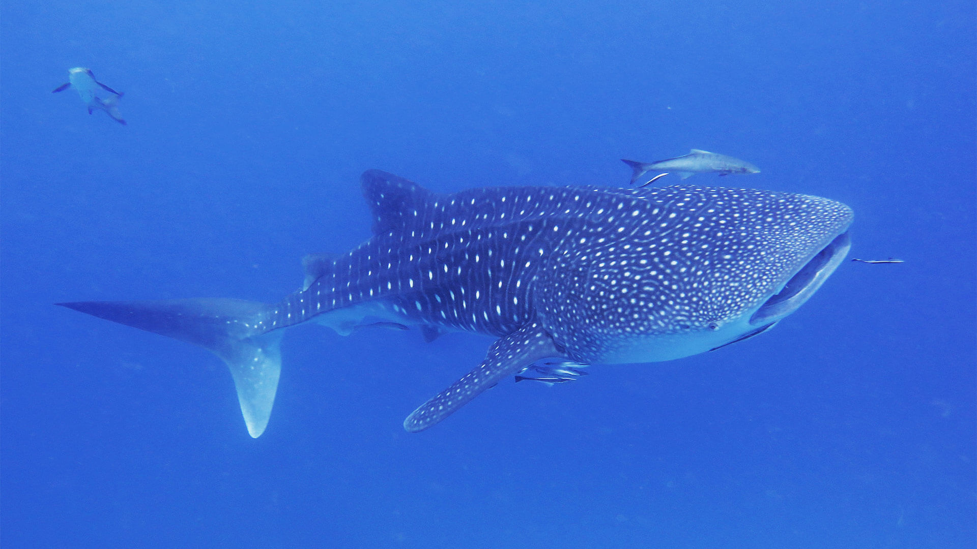 can i see whale sharks scuba diving in phuket aussie divers phuket