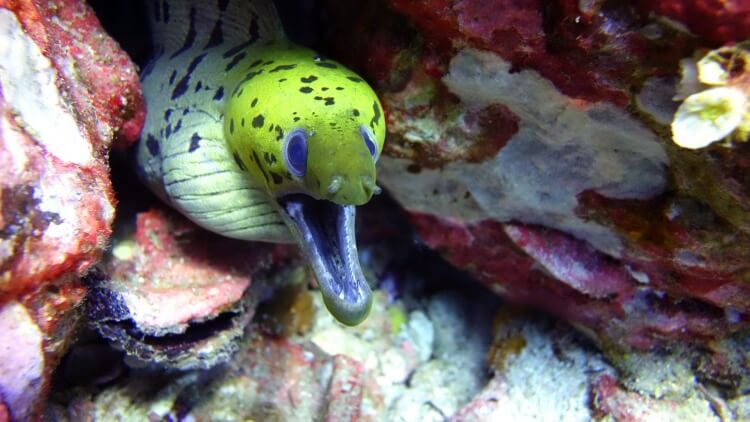 Fimbriated Moray Eel photographed while scuba diving in Phuket Thailand