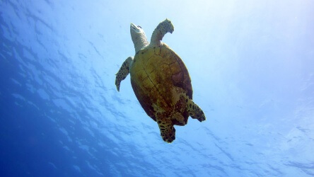 Hawksbill Sea Turtle photographed at Three Tree's in the Similan Islands Thailand