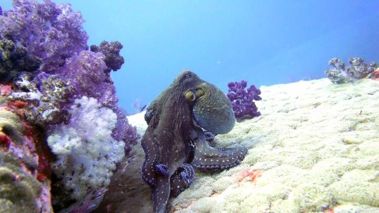 Reef Octopus photographed in Burma/Myanmar