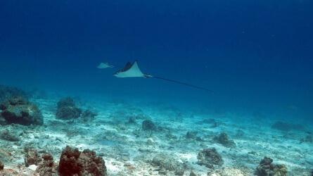 Eagle Rays Racha Noi Scuba Diving Phuket Aussie Divers Phuket