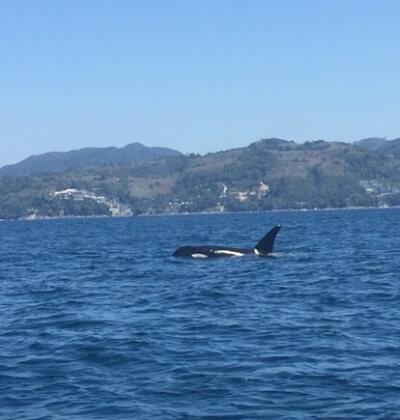 Orca Whale_Patong Beach_Scuba Diving_Phuket_Thailand