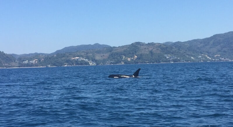 Killer Whale Spotted Off Patong