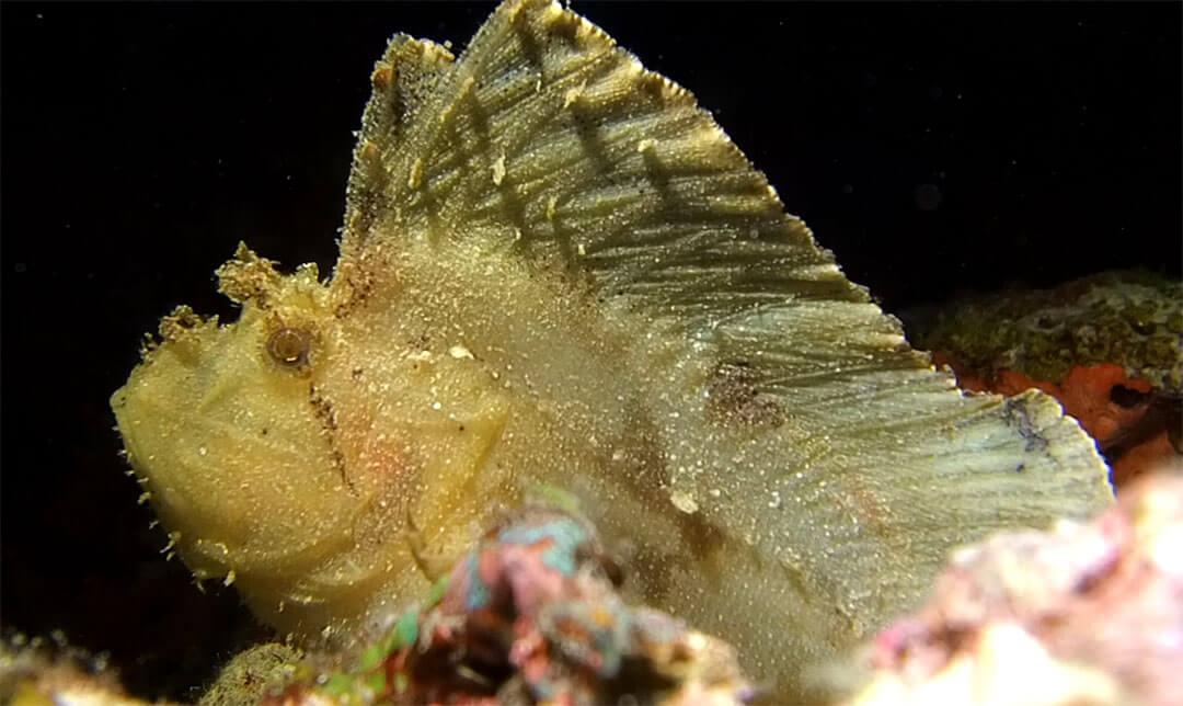leaf scorpionfish-#28