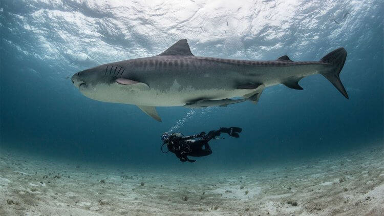 Scubapro Diver Display Centre Aussie Divers Phuket Tiger Shark