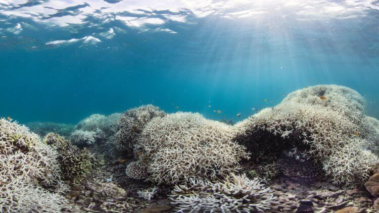 Coral Bleaching Event Are Devastating Coral Reefs And Ocean Ecosystems