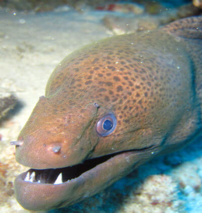 Giant Moray Eel Aussie Divers Phuket-
