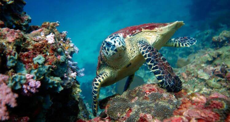 Turtle Phi Phi Aussie Divers Phuket Scuba Diving